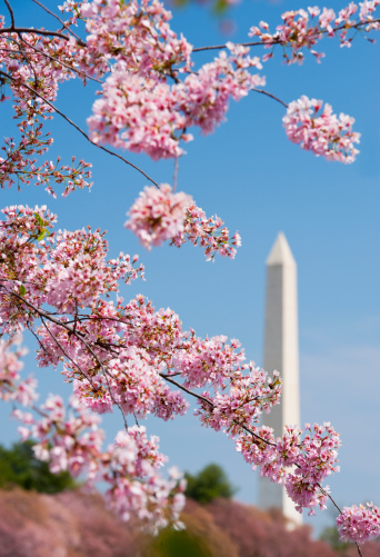 Cherry Blossoms「Cherry blossoms in front of Washington Monument」:スマホ壁紙(6)