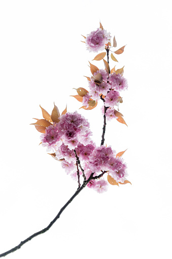 桜「Cherry blossoms in front of white background」:スマホ壁紙(1)