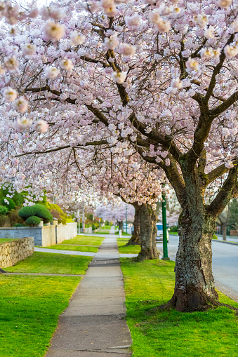 flower「A cherry blossom tree lined side walk in the spring, a perfect pathway for a leisurely stroll to enjoy the outdoors」:スマホ壁紙(1)