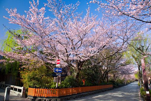 桜「Cherry Blossom Trees and Road」:スマホ壁紙(10)