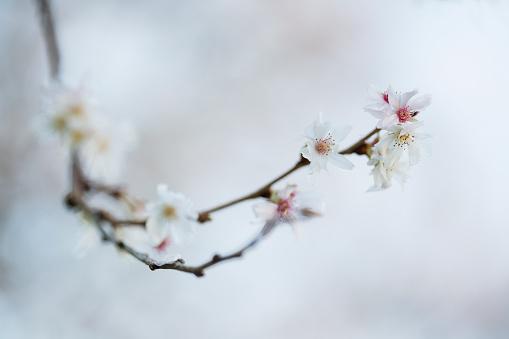 Oriental Cherry Tree「Cherry Blossom in spring time」:スマホ壁紙(10)