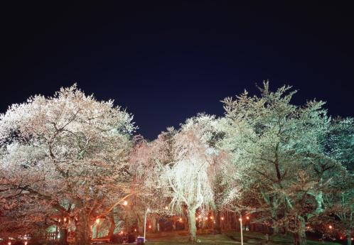 夜桜「Cherry blossoms, Yamagata Prefecture, Japan」:スマホ壁紙(5)