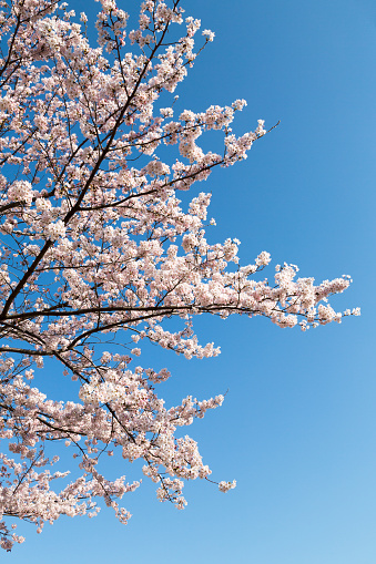 桜「Cherry blossom in Tokyo」:スマホ壁紙(9)