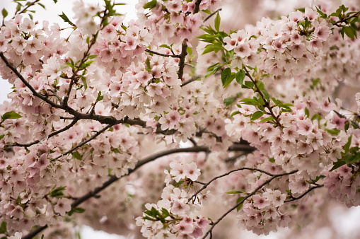 ソメイヨシノ「Cherry Blossom. A Close-up of Blossoming Japanese Cherry Tree」:スマホ壁紙(9)