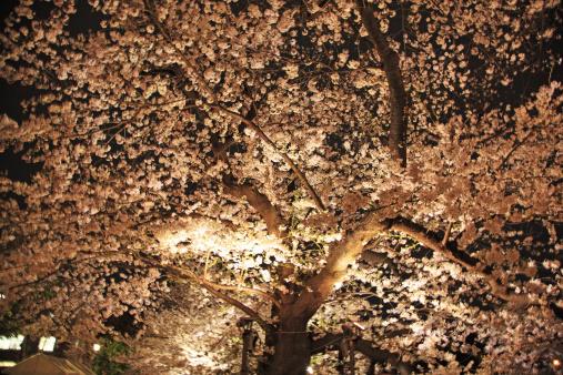 夜桜「Cherry blossoms, Tokyo, Japan」:スマホ壁紙(1)