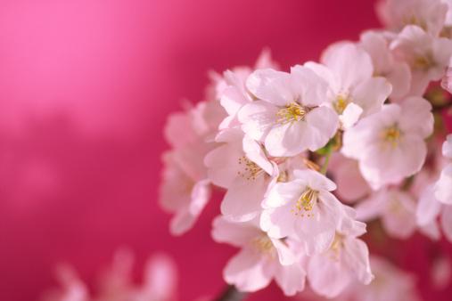 桜「桜の花の背景に、マゼンタ」:スマホ壁紙(8)