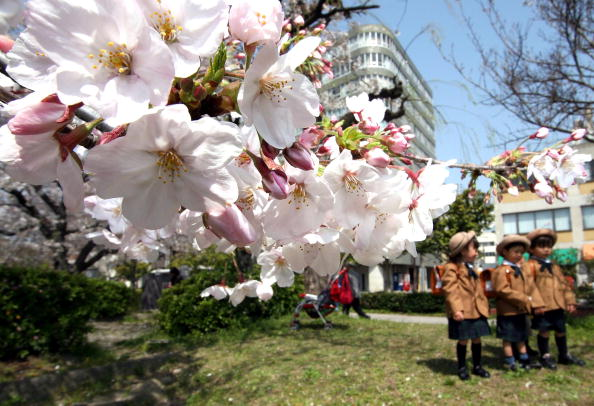 Cherry Blossom「Cherry Blossoms Bloom In southwestern Japan」:写真・画像(14)[壁紙.com]
