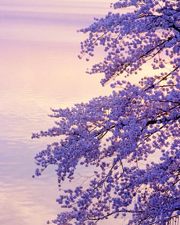 桜「Cherry blossom tree at dusk」:スマホ壁紙(19)