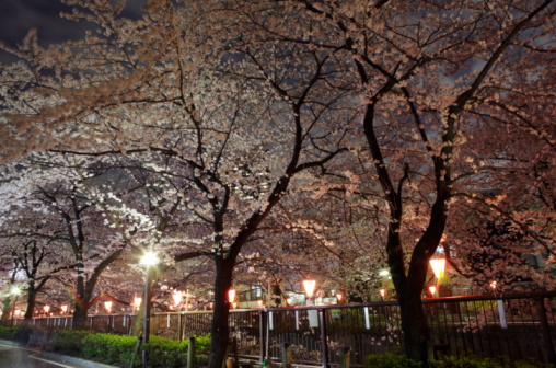 Cherry trees at evening「Cherry blossom of Meguro River at night」:スマホ壁紙(2)