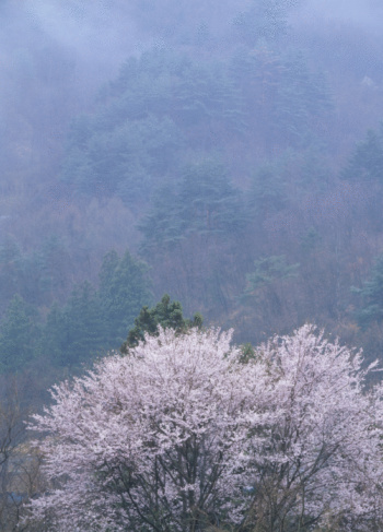 Cherry Blossom「Cherry Blossoms and Mist」:スマホ壁紙(17)