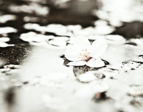 Cherry Blossoms「Cherry blossoms in water」:スマホ壁紙(17)