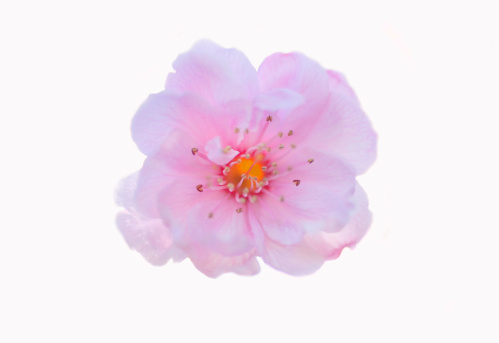 Cherry Blossoms「Cherry blossom」:スマホ壁紙(10)