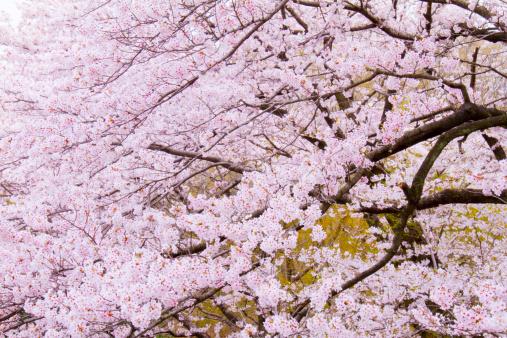 花見「Cherry blossoms in full bloom, spring in Japan」:スマホ壁紙(16)