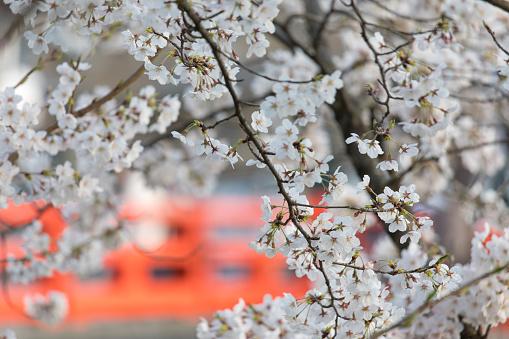 Tourist「Cherry blossoms in full bloom」:スマホ壁紙(17)