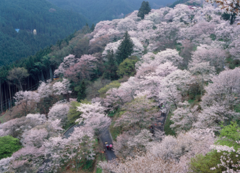 桜「Cherry Blossoms, Yoshino, Yoshino, Nara, Japan」:スマホ壁紙(12)
