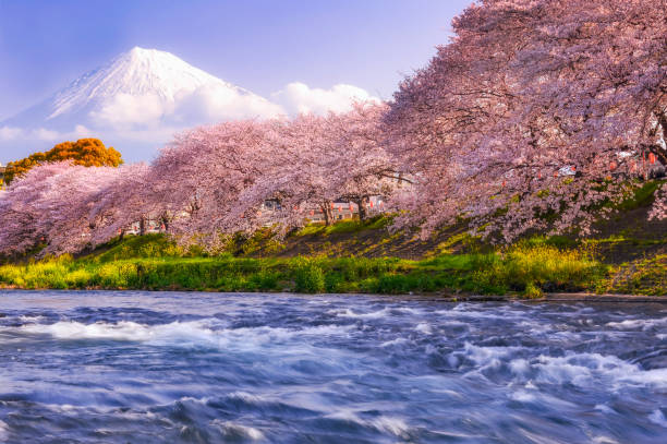 Cherry blossom trees along a river with Mount Fuji in the background, Japan:スマホ壁紙(壁紙.com)