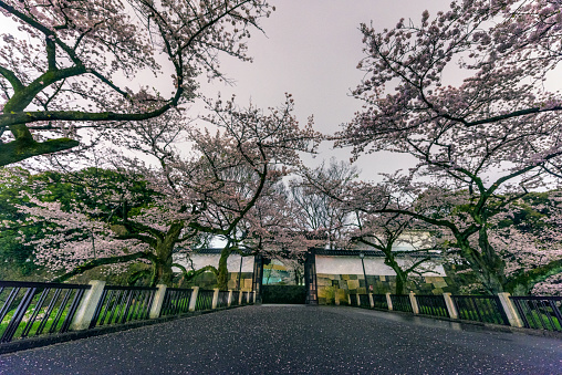 夜桜「Cherry Blossoms from Chidorigafuti at midnight」:スマホ壁紙(4)