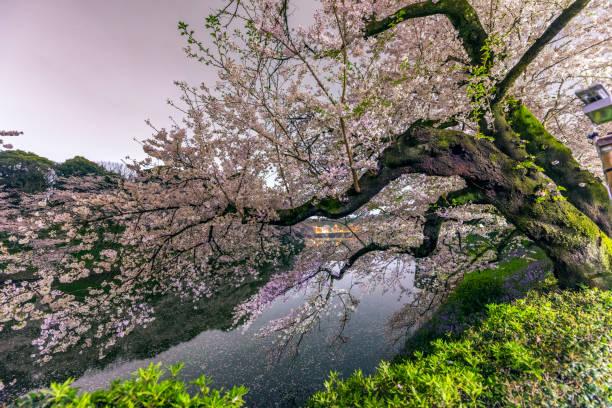 Cherry Blossoms from Chidorigafuti at midnight:スマホ壁紙(壁紙.com)