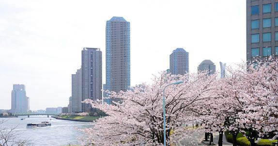 桜「Cherry Blossom Trees and Skyscrapers」:スマホ壁紙(19)
