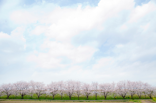 Cherry Tree「Cherry blossom trees and sky」:スマホ壁紙(17)