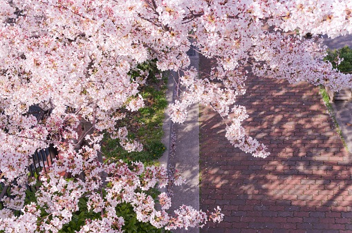 Cherry Blossoms「Cherry blossoms and the road」:スマホ壁紙(1)