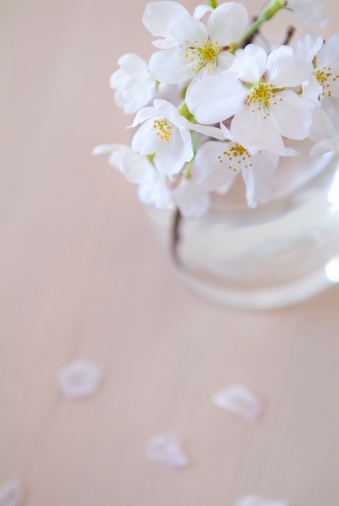 Cherry Tree「Cherry blossoms in vase」:スマホ壁紙(11)
