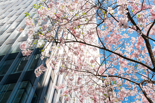 Avenue「Cherry blossoms tree stands among the Park Avenue Midtown Manhattan skyscrapers, which are illuminated by sunlight at New York USA on Apr. 14 2018.」:スマホ壁紙(19)
