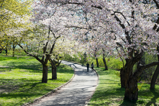 Unrecognizable Person「Cherry Blossoms In High Park」:スマホ壁紙(3)