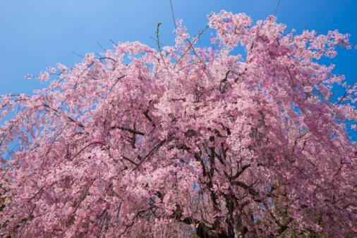 桜「Cherry blossom tree」:スマホ壁紙(12)