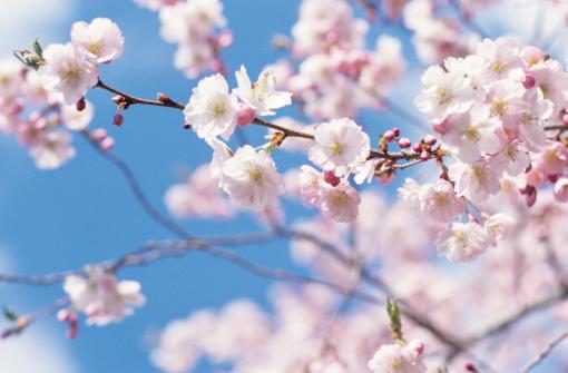 桜「Cherry blossom tree」:スマホ壁紙(1)