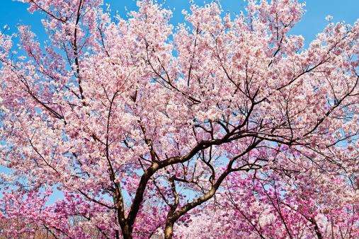 Cherry Blossoms「Cherry blosom trees, Tokyo」:スマホ壁紙(13)