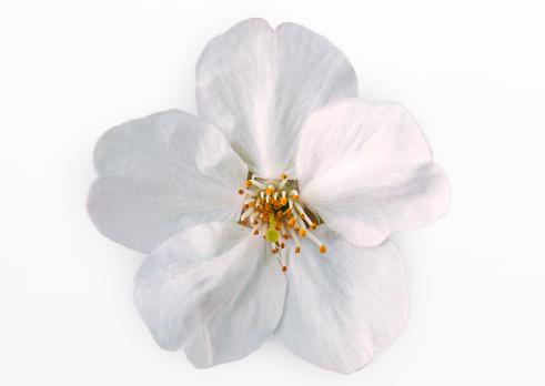 桜「Cherry Blossom」:スマホ壁紙(10)