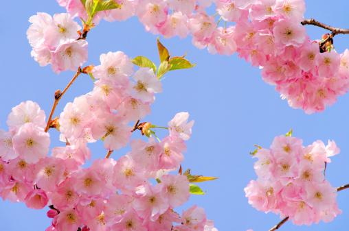 桜「cherry blossom」:スマホ壁紙(12)