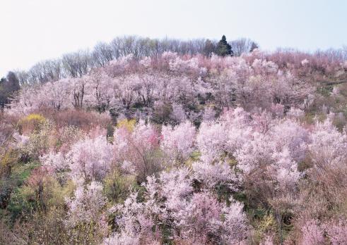お花見「Cherry Blossom」:スマホ壁紙(16)