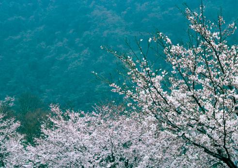 Cherry Blossom「Cherry Blossom」:スマホ壁紙(4)
