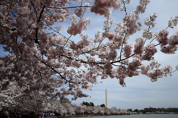 Win McNamee「Cherry Blossoms Bloom Around Washington DC's Tidal Basin」:写真・画像(11)[壁紙.com]