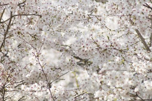 かまくら「Cherry blossoms on branch」:スマホ壁紙(14)