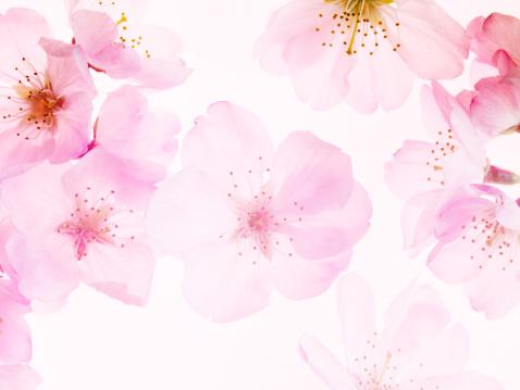 桜「Cherry Blossoms」:スマホ壁紙(5)