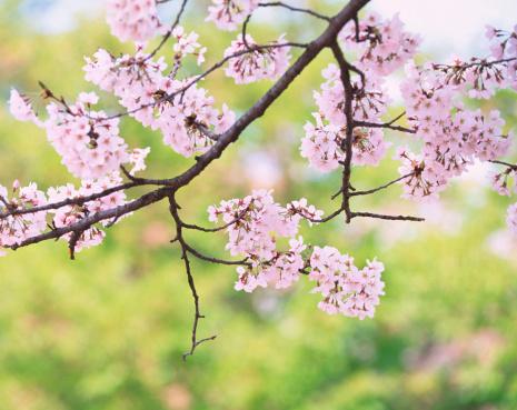 桜「桜の花」:スマホ壁紙(6)