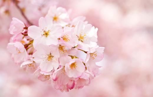 ピンク「桜の花」:スマホ壁紙(14)