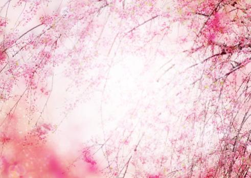桜「Cherry blossoms」:スマホ壁紙(16)