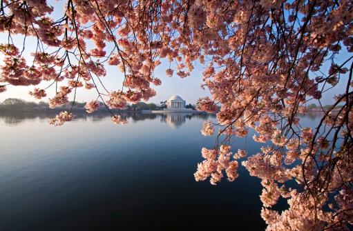 Focus On Background「DC Cherry Blossoms」:スマホ壁紙(15)