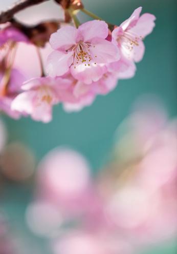 Cherry Blossom「桜の花」:スマホ壁紙(19)