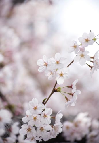 桜「桜の花」:スマホ壁紙(15)