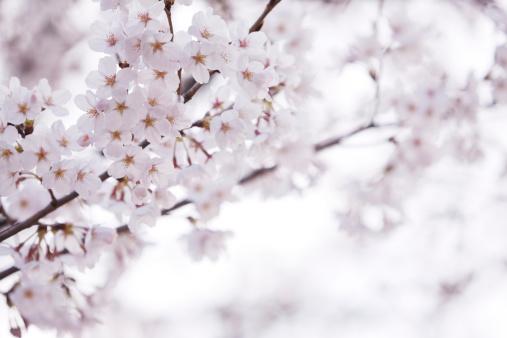 Cherry Blossom「桜の花」:スマホ壁紙(1)