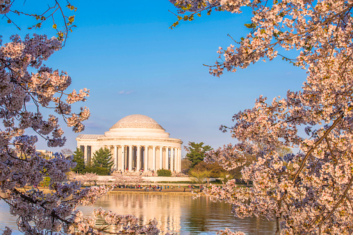 Focus On Background「DC Cherry Blossoms」:スマホ壁紙(19)
