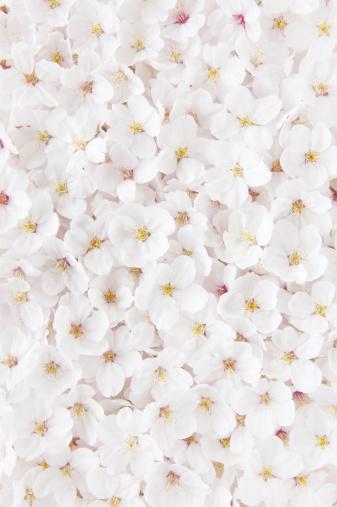 桜「Cherry blossoms」:スマホ壁紙(9)