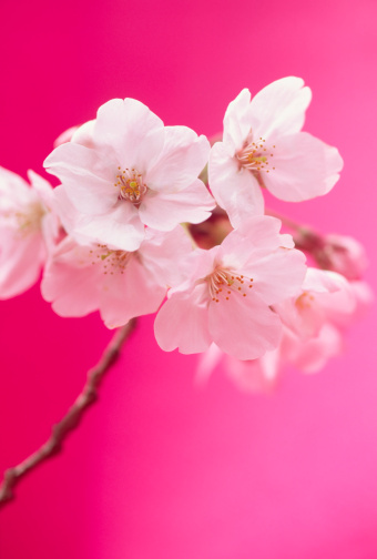 Cherry Blossom「桜の花」:スマホ壁紙(15)