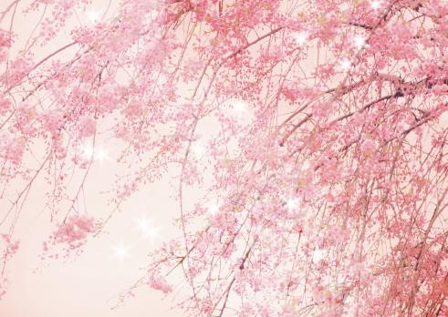 春「Cherry blossoms」:スマホ壁紙(4)