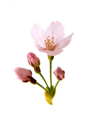 Cherry Blossom「Cherry blossoms」:スマホ壁紙(10)